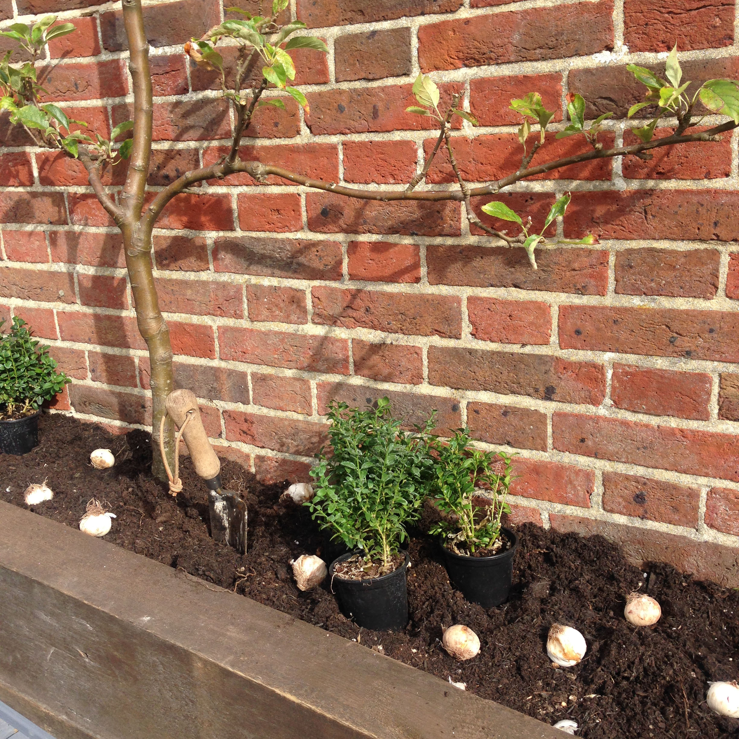 espalier apples alliums and box 1