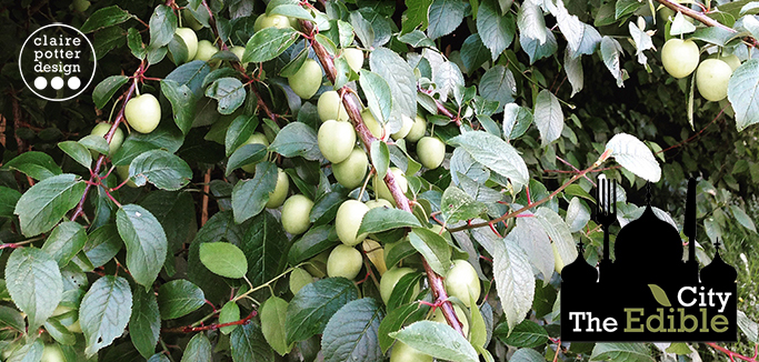 cherry plum foraging